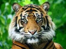 Tigre Pablito
